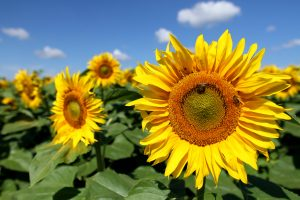 Sunflower Planting Event